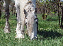 Grey percheron grazing Stock Image