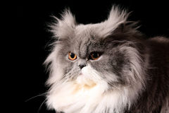 Grey persian cat stock images