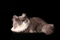 Grey persian cat Royalty Free Stock Photo