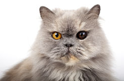 Grey Persian Cat Royalty Free Stock Photography