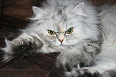 Grey persian cat Royalty Free Stock Photos