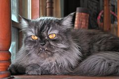 Grey Persian cat with protrude fangs. Grey yellow eye  Persian cat with protrude fangs Royalty Free Stock Photo