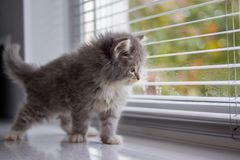 Grey Persian Little fluffy Maine coon kitten sits and paws the door window and waits for the owner . Newborn kitten, Kid animals a royalty free stock photos