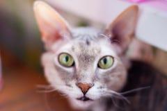 Grey peterbald cat in soft focus. Beautiful grey purebred peterbald cat closeup portrait in soft focus royalty free stock image
