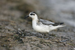 Grey Phalarope, Phalaropus fulicaria Royalty Free Stock Photo