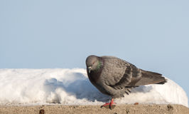 Grey Pidgeon. Bird On Top Of Ledge royalty free stock image