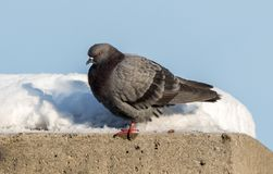 Grey Pidgeon. Bird On Top Of Ledge royalty free stock images