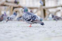 Grey Pidgeon. With others out of focus, taken in a park stock photos