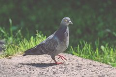 Grey Pidgeon/ Pidgin sat on a street - vintage look. Grey Pidgeon/ Pidgin sat on a street with trees in the background - vintage look royalty free stock photos