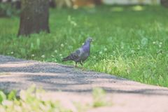 Grey Pidgeon/ Pidgin sat on a street - vintage look. Grey Pidgeon/ Pidgin sat on a street with trees in the background - vintage look royalty free stock photography