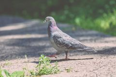 Grey Pidgeon/ Pidgin sat on a street - vintage look. Grey Pidgeon/ Pidgin sat on a street with trees in the background - vintage look royalty free stock image