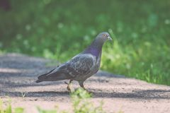 Grey Pidgeon/ Pidgin sat on a street - vintage look. Grey Pidgeon/ Pidgin sat on a street with trees in the background - vintage look stock photo