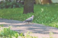 Grey Pidgeon/ Pidgin sat on a street - vintage look. Grey Pidgeon/ Pidgin sat on a street with trees in the background - vintage look royalty free stock images