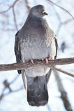 A pidgeon sitting on a branch Stock Photo