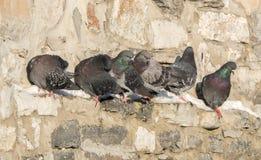 Grey Pidgeons. Grey Pidgeon Bird On Top Of Ledge Royalty Free Stock Photos