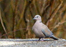 A grey pigeon Stock Images
