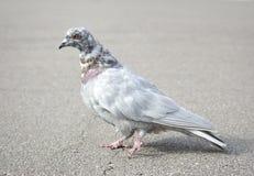 Grey pigeon Stock Photos