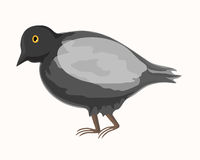 Grey pigeon Royalty Free Stock Photos