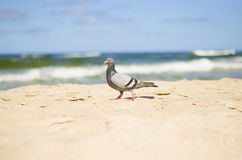 Grey pigeon Royalty Free Stock Photography