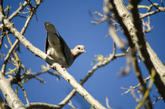 Grey pigeon on branch looking at camera Stock Images