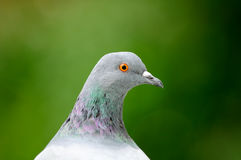 Grey Pigeon Close-Up Royalty Free Stock Photography