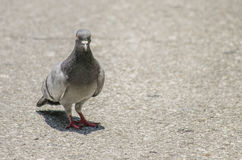 Grey Pigeon Stock Photos