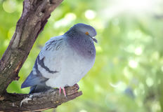 Grey pigeon closeup sitting on wooden branch Stock Photography