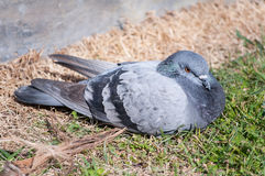 Grey Pigeon Dove Stock Photography