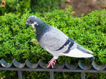 Grey pigeon on fence by green bush. Stock Photography