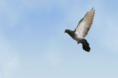 Grey pigeon in flight. Beautiful grey pigeon in flight, blue sky background royalty free stock photography
