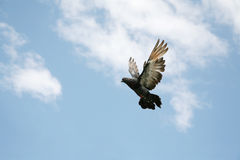 Grey pigeon in flight. Beautiful grey pigeon in flight, blue sky background stock image