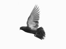 Grey pigeon in flight. Beautiful grey pigeon in flight, white background stock photos