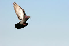 Grey pigeon flying in. Beautiful grey pigeon flying in, wings outstretched stock photography