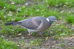 Grey Pigeon on Grass. Profile of a Grey Pigeon Standing Alone On Green Grass Royalty Free Stock Photography
