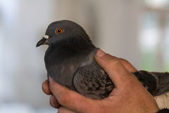 Grey pigeon in hands. Of a man with blurred background Stock Images