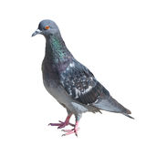Grey Pigeon Isolated On White Stock Photo