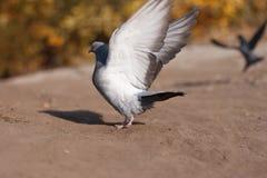 Grey Pigeon no parque do verão Fotografia de Stock