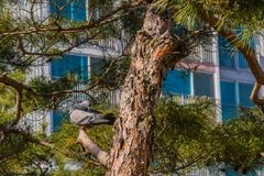Grey pigeon perched on tree branch. Grey rock pigeon perched on branch of evergreen tree cleaning its feathers with building in background Royalty Free Stock Image
