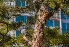 Grey pigeon perched on tree branch. Grey rock pigeon perched on branch of evergreen tree with building in background Royalty Free Stock Images