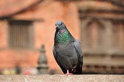 Grey Pigeon. Perching on a fence royalty free stock photos