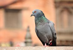 Grey Pigeon. Perching on a fence royalty free stock photography