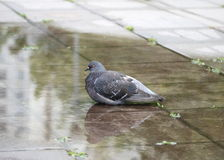 Grey pigeon. On the puddle Stock Photo