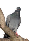 Grey pigeon sitting on the branch Stock Photo