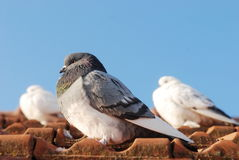 Grey pigeon sitting on the old street roof Royalty Free Stock Photo