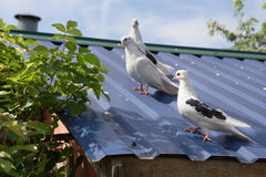 Grey pigeon sitting on the old street roof Royalty Free Stock Photography
