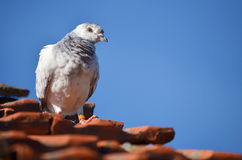 Grey pigeon Royalty Free Stock Photo