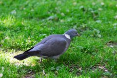 Grey Pigeon Standing on Green Grass. Profile of a Grey Pigeon Standing Alone On Green Grass Royalty Free Stock Image