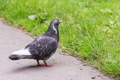 Grey Pigeon Standing på gräs för grov asfaltbeläggning nästan Arkivfoto