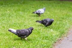 Grey Pigeon Standing su erba verde con altri piccioni intorno Immagini Stock Libere da Diritti
