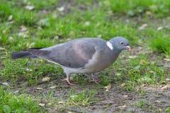 Grey Pigeon su erba fotografia stock libera da diritti